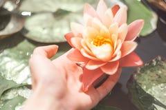 Een vrouwen` s hand met een glanzende roze lotusamong de vijver Exotische tropische bloem op een lichtgroene achtergrond Water li stock fotografie
