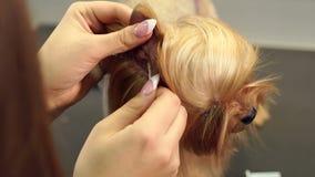 Een vrouwendierenarts maakt de oren met een katoenen zwabber in een terriër van Yorkshire bij kliniek schoon stock video
