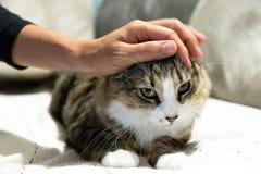Een vrouwenhand die een gestreepte kat en een witte kat met groene ogen strijken stock afbeeldingen