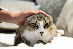 Een vrouwenhand die een gestreepte kat en een witte kat met groene ogen strijken stock afbeelding