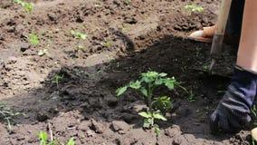 Een vrouwenlandbouwer wiedt de tuin, schoonmaakt onkruid rond jonge groene installaties stock footage