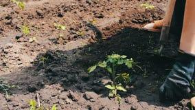 Een vrouwenlandbouwer wiedt de tuin, schoonmaakt onkruid rond jonge groene installaties, Persoons hakkend onkruid met houweel Het stock videobeelden