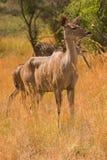 Een waakzaam kuduwijfje Stock Afbeelding