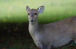 Een waakzaam vrouwelijk hert Royalty-vrije Stock Foto