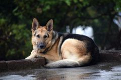 Een waakzame hond bewaakt zijn owner& x27; s huis royalty-vrije stock afbeeldingen