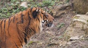 Een waakzame Indische tijger Stock Foto's