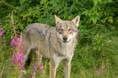 Een waakzame wolf Stock Foto