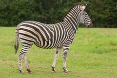Een waakzame Zebra Royalty-vrije Stock Foto's