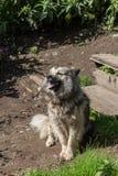 Een wachtwaakhond op een ketting Stock Fotografie