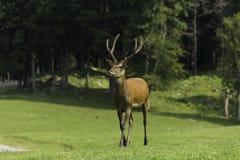 Een Wapitihert weidt op wat gras Stock Foto