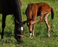 Een warmbloedig veulen die van paard draven royalty-vrije stock afbeelding