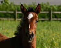 Een warmbloedig veulen die van paard draven royalty-vrije stock foto