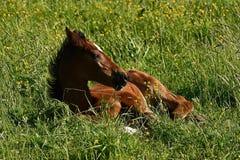 Een warmbloedig veulen die van paard draven stock foto's