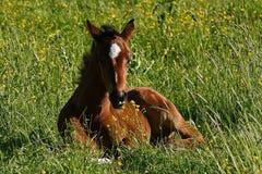 Een warmbloedig veulen die van paard draven stock afbeeldingen