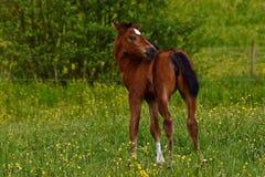 Een warmbloedig veulen die van paard draven royalty-vrije stock afbeeldingen