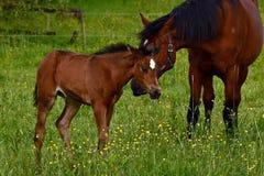 Een warmbloedig veulen die van paard draven stock foto