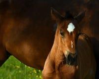 Een warmbloedig veulen die van paard draven royalty-vrije stock fotografie