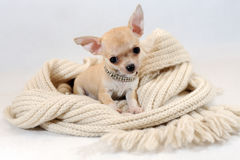 In een Warme Plaats - Chihuhua-puppy in sjaal Royalty-vrije Stock Fotografie
