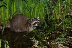 Een Wasbeer in het Water stock afbeeldingen
