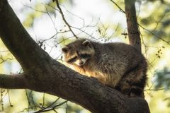 Een wasbeer op een boom stock foto