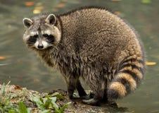 Een wasbeer speelt buiten op het water Royalty-vrije Stock Foto's
