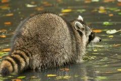 Een wasbeer speelt buiten op het water Royalty-vrije Stock Fotografie