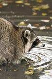 Een wasbeer speelt buiten op het water Stock Afbeeldingen
