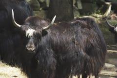 Een waterbuffel in een dierentuin Royalty-vrije Stock Fotografie