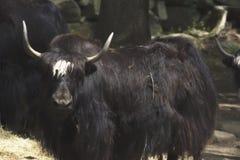 Een waterbuffel in een dierentuin Stock Foto