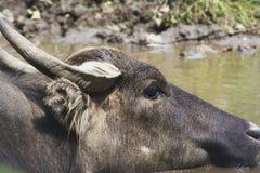 Een waterbuffel in een dierentuin Royalty-vrije Stock Afbeeldingen