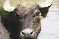 Een waterbuffel in een dierentuin Royalty-vrije Stock Foto