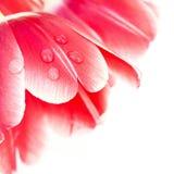 Een waterdaling op rode tulpenbloemblaadjes Stock Afbeelding