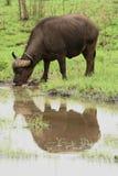 Een weerspiegelende buffel Royalty-vrije Stock Afbeeldingen