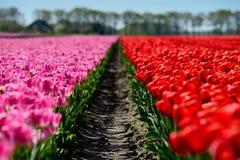 Een weg door een gebied van rode en roze tulpen Stock Foto