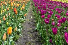 Een weg door een gebied van tulpen stock afbeeldingen