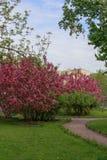 Een weg in een park met tot bloei komende appelbomen Stock Fotografie