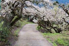 Een weg met prunus wordt omringd die mume Royalty-vrije Stock Foto's
