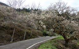 Een weg met prunus wordt omringd die mume Royalty-vrije Stock Foto