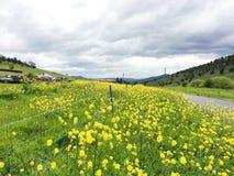 Een weide met gele canola wordt gevuld die bloeit royalty-vrije stock foto's