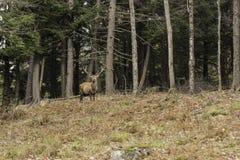 Een weidend wapitihert in een bos Royalty-vrije Stock Foto's