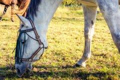 Een weidend wit paard stock fotografie