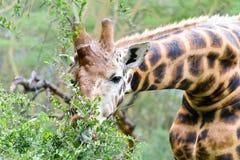 Een weidende giraf stock fotografie