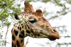 Een weidende giraf royalty-vrije stock afbeelding