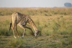 Een weidende giraf in Chobe N P - Botswana stock fotografie