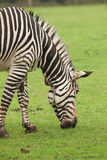 Een weidende zebra Royalty-vrije Stock Afbeelding
