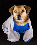 Vette hond Royalty-vrije Stock Afbeeldingen