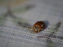 Een weinig het gelukkige kijken lieveheersbeestje Stock Foto