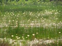Een weinig lotuses of water stock afbeeldingen