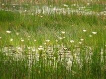 Een weinig lotuses of water Stock Foto