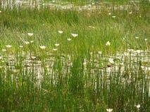 Een weinig lotuses of water Stock Afbeelding